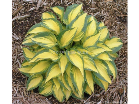 Хоста Green & Yellow - Hosta Green & Yellow
