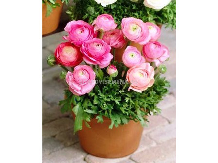 Ранункулус Tomer pink