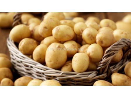 семе картофи Маестро 5кг