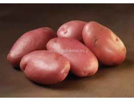 семе червени картофи Стемстер