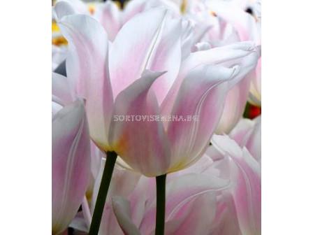 Лале Multiflowered Serenity