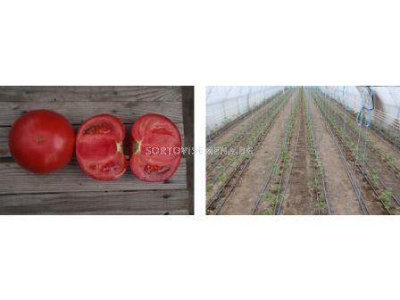 Семена домати Зерси F1  - tomato Zersy F1  - 4