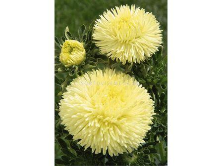 Астра /Callistephus chinensis Crest yellow/ LG 1 оп