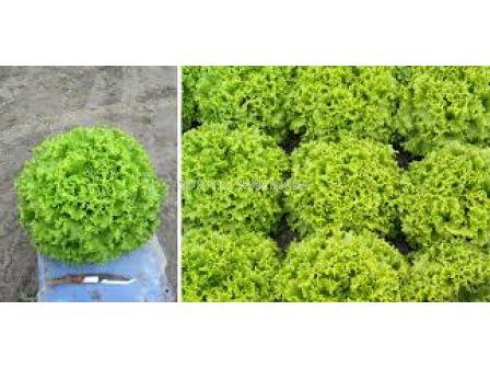 Семена салата батавия ОЛЕОЛЕ ( OLEOLE F1) Syngenta 1 оп-5 000 сем
