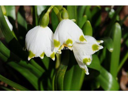 Блатно кокиче - Leucojum aestivum