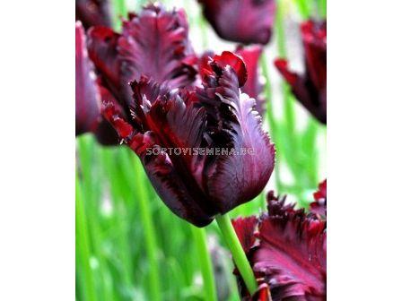 Лале (Tulip) Black Parrot