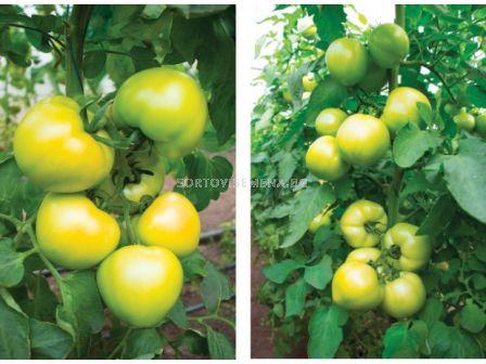 Семена домати Зерси F1  - tomato Zersy F1  - 5
