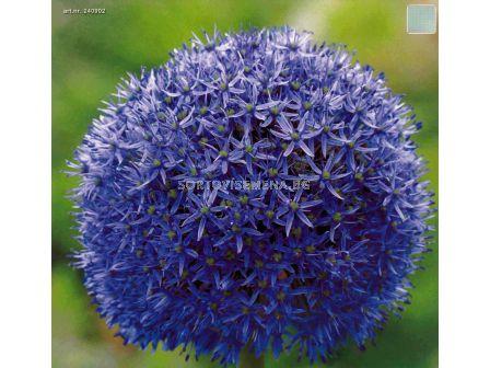 Декоративен лук (Allium Globemaster)