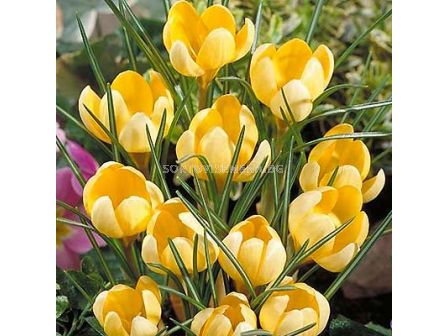 Едроцветен минзухар (Crocus) Golden Yellow