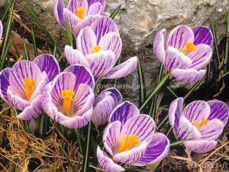 Едроцветен минзухар (Crocus) King of the Striped