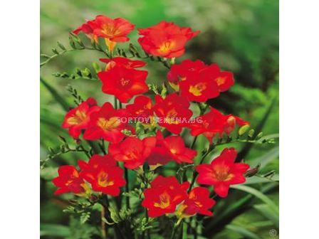 Фрезия Червена - Freesia Red