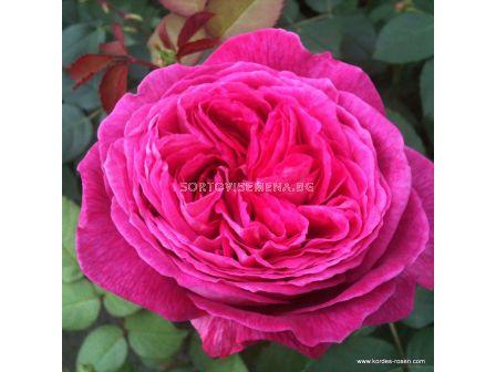 Роза Freifrau Caroline ADR - 1 брой - 1