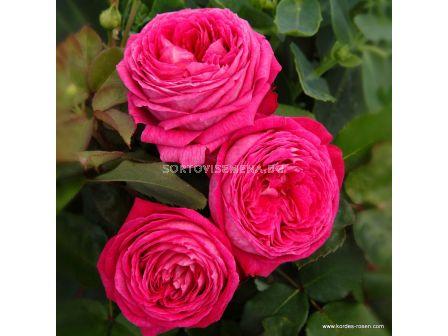 Роза Freifrau Caroline ADR - 1 брой - 2