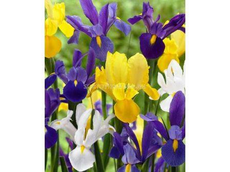 Ирис (Iris) Hollandica Mix 7/8