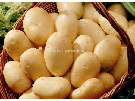 семе картофи Фрисландер- подобрен сорт Ломбардо
