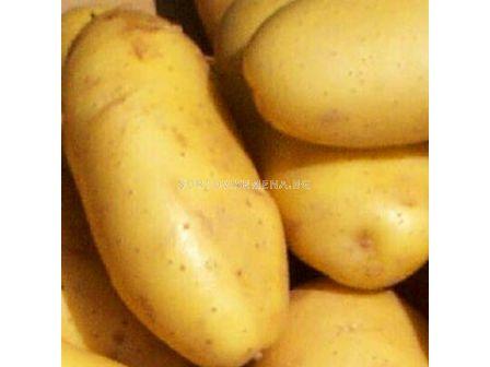 семе картофи Спунта - 5кг