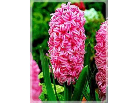 Зюмбюл Pink Pearl - Hyacinth Pink Pearl