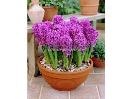 Зюмбюл (Hyacinth) Splendid Cornelia