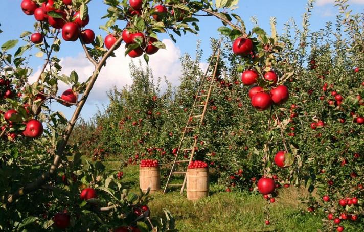 Овощна градина с ябълкови дървета, отрупани с плодове.