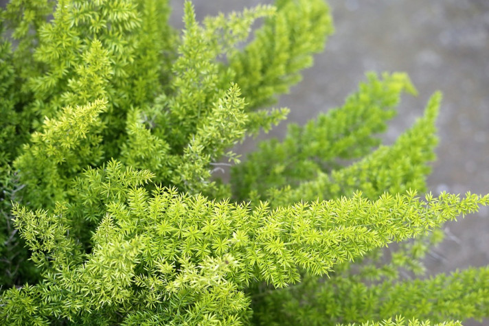 Аспарагусът – свежест и зеленина у дома
