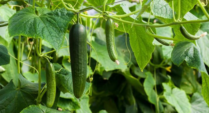 Разнообразие от семена за високодобивни и вкусни краставици