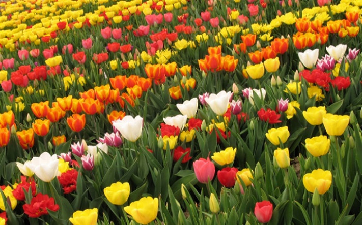 Бели, жълти, розови, оранжеви, червени лалета
