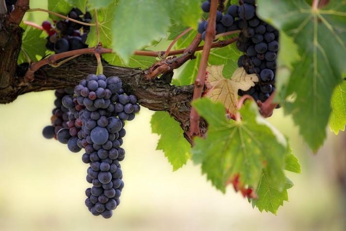 Лоза с узряло червено грозде. Аграра ООД