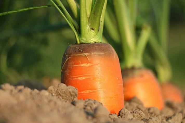 Морковът – богатство в градината