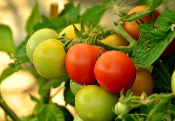 Отглеждане на домати без разсад