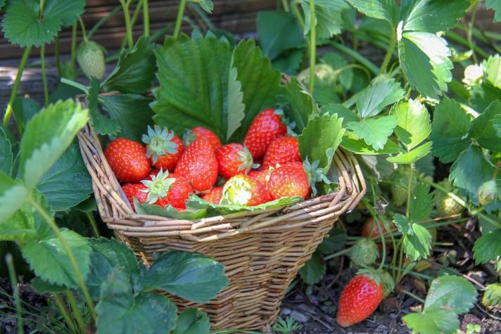 Подготовка на ягодите за зимата