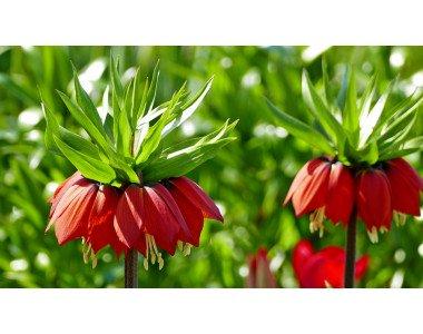 Фритиларията – царственото цвете