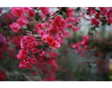 Екзотичната красота на бугенвилията
