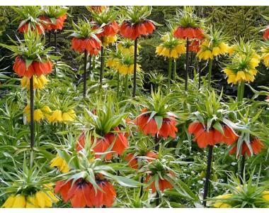 Фритилария (Ходжово лале) и Еремурус – екзотика в градината!