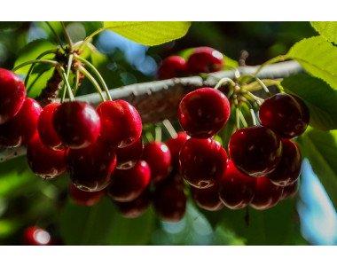 Грижа за черешовите дървета през есента