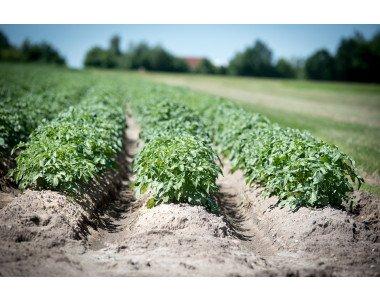 Вкусни и високодобивни сортове картофи