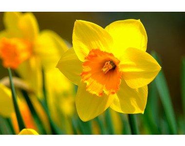 Нарцисът – нежно и красиво цвете