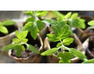 Как да отгледаме добър разсад за зеленчуци?