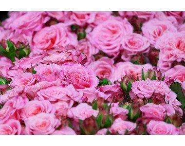 Розата – кралицата на цветята