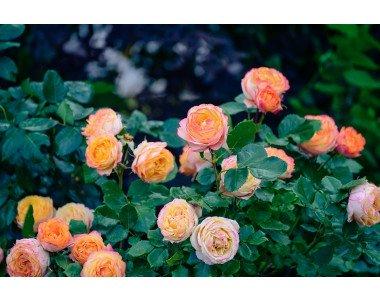Почернели стъбла на розите – какво да правим?