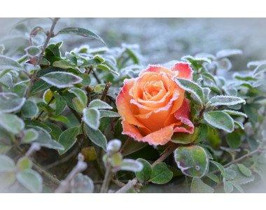 Как да подготвим розите за презимуване?