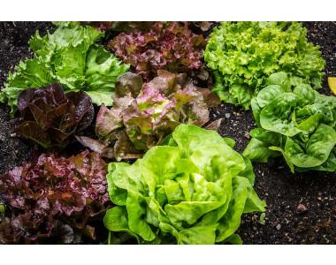 Как да отгледаме прекрасни салатки в оранженията?