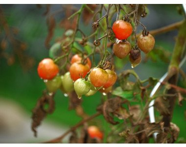 Какво да правим с растителните остатъци от картофите и доматите?