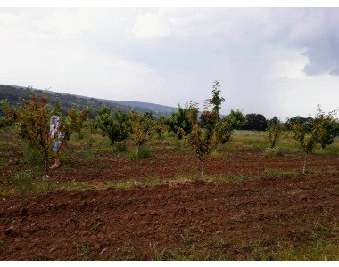 Възстановяване на овощна градина (вишни)