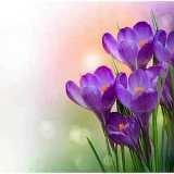 Стръкчета лилав минзухар