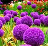 Поляна с цъфнал лилав декоративен лук