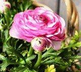 Розов ранункулус